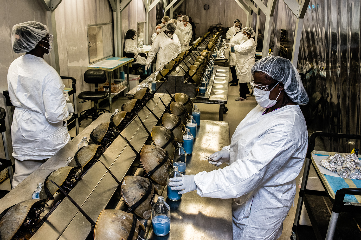 Charles River Laboratories in Charleston, South Carolina, is one facility that collects horseshoe crab blood, which appears blue upon air exposure. Photo by Timothy Fadek