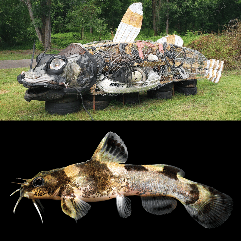 Top photo: a sculpture of the Carolina madtom catfish. Bottom photo: a photo of the real species.