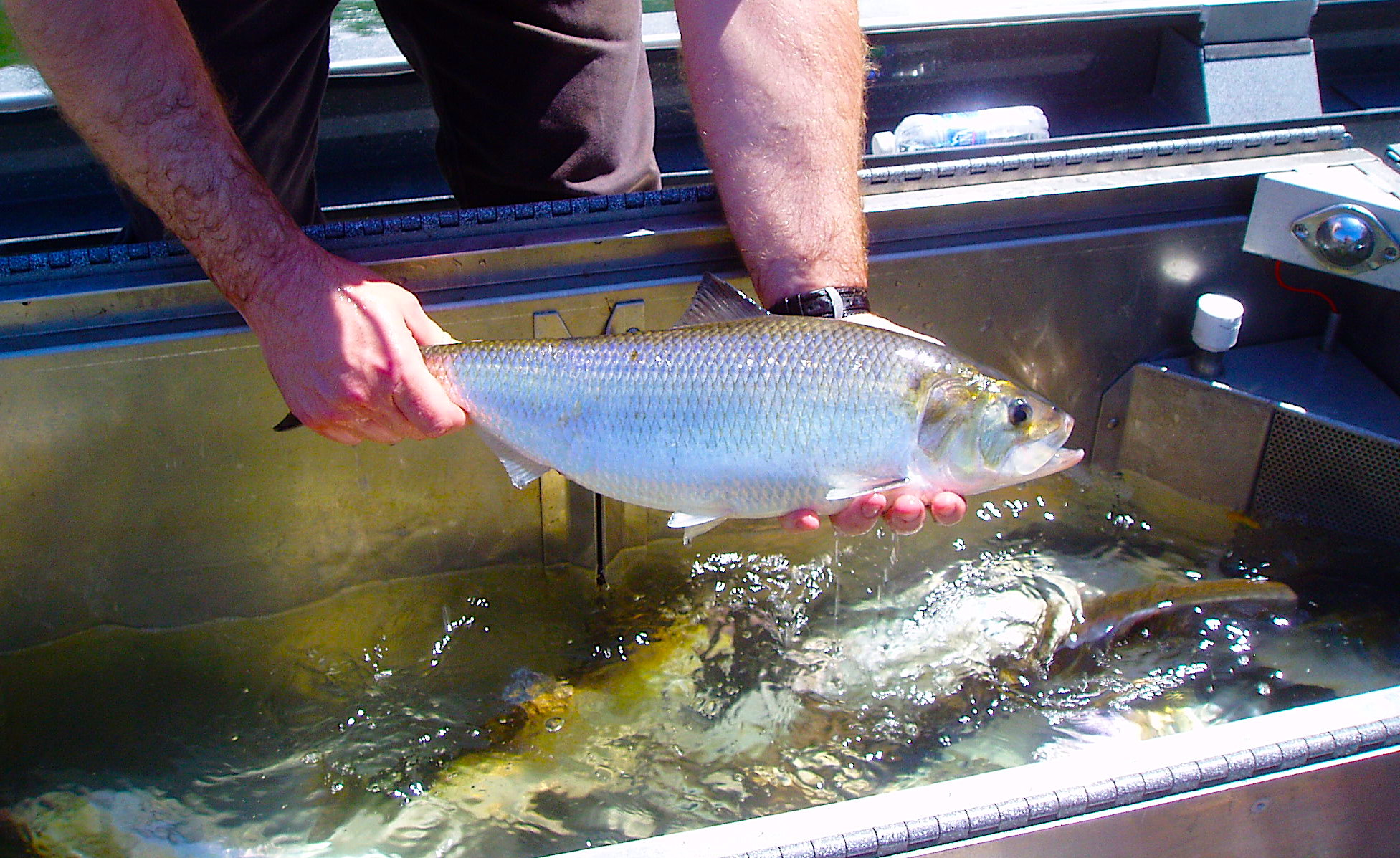 Will warmer temperatures lead to earlier-than-normal spawning in American shad? Credit: US Fish & Wildlife Service