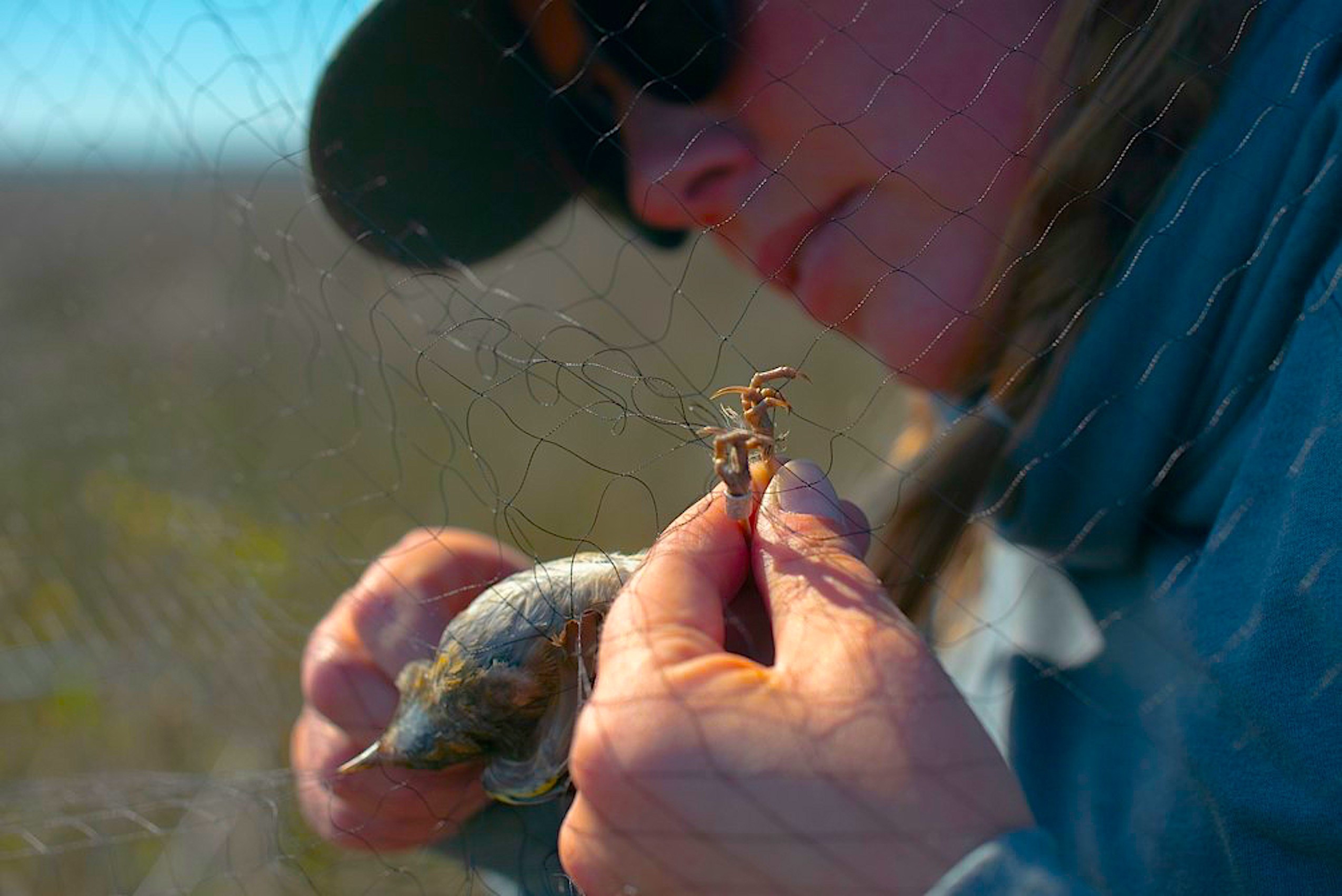 Marae Lindquist carefully frees a sparrow from a marsh net for her research. Credit: Boston Dang
