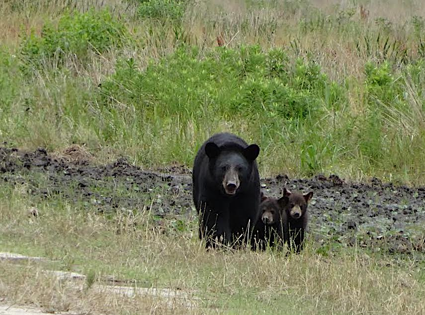 Black bear sightings on terrain along the Alligator River aren't uncommon (above), but few people had stumbled across bears within the Buckridge Coastal Reserve before Manda and a student researcher had a chance encounter with one. Credit: Anton Joubert/USFWS.