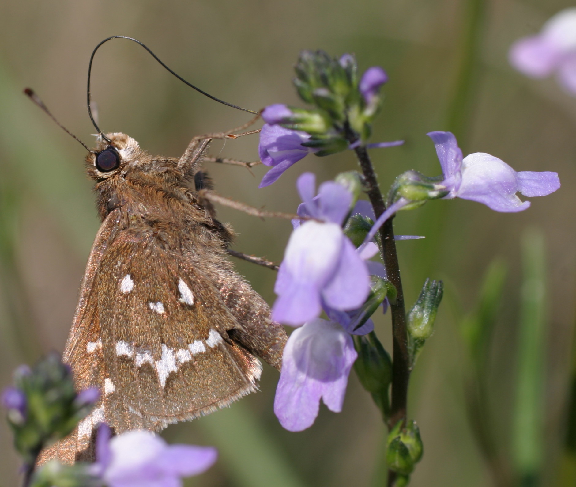 A crystal skipper on common toadflax.