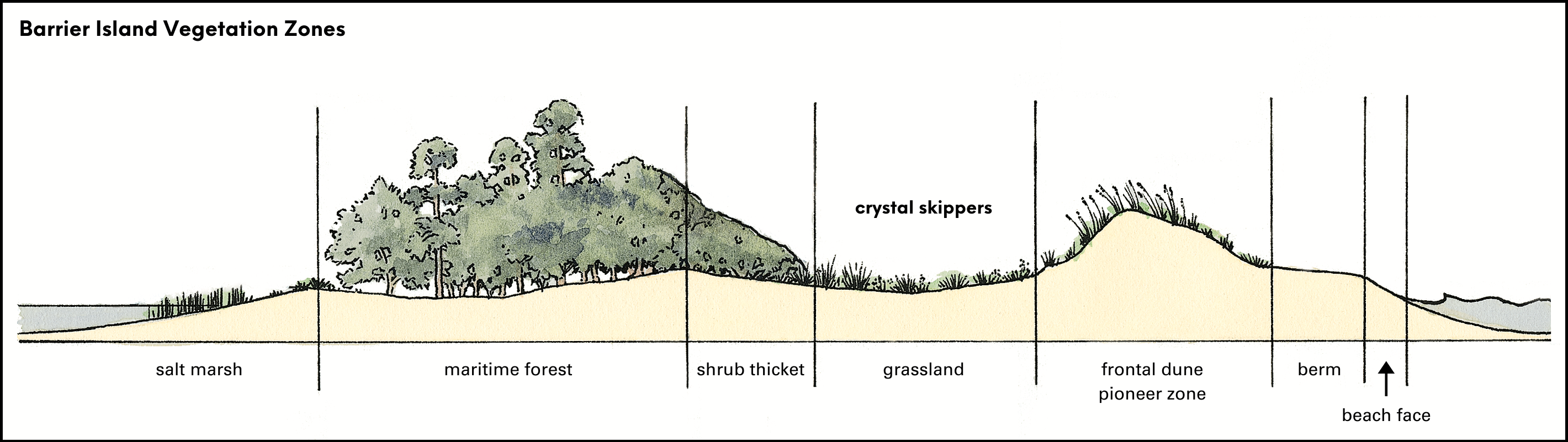 Crystal skippers rely on dune vegetation that grows in swales between sea oats and shrub thickets. Adapted from an illustration by David Williams for The Dune Book