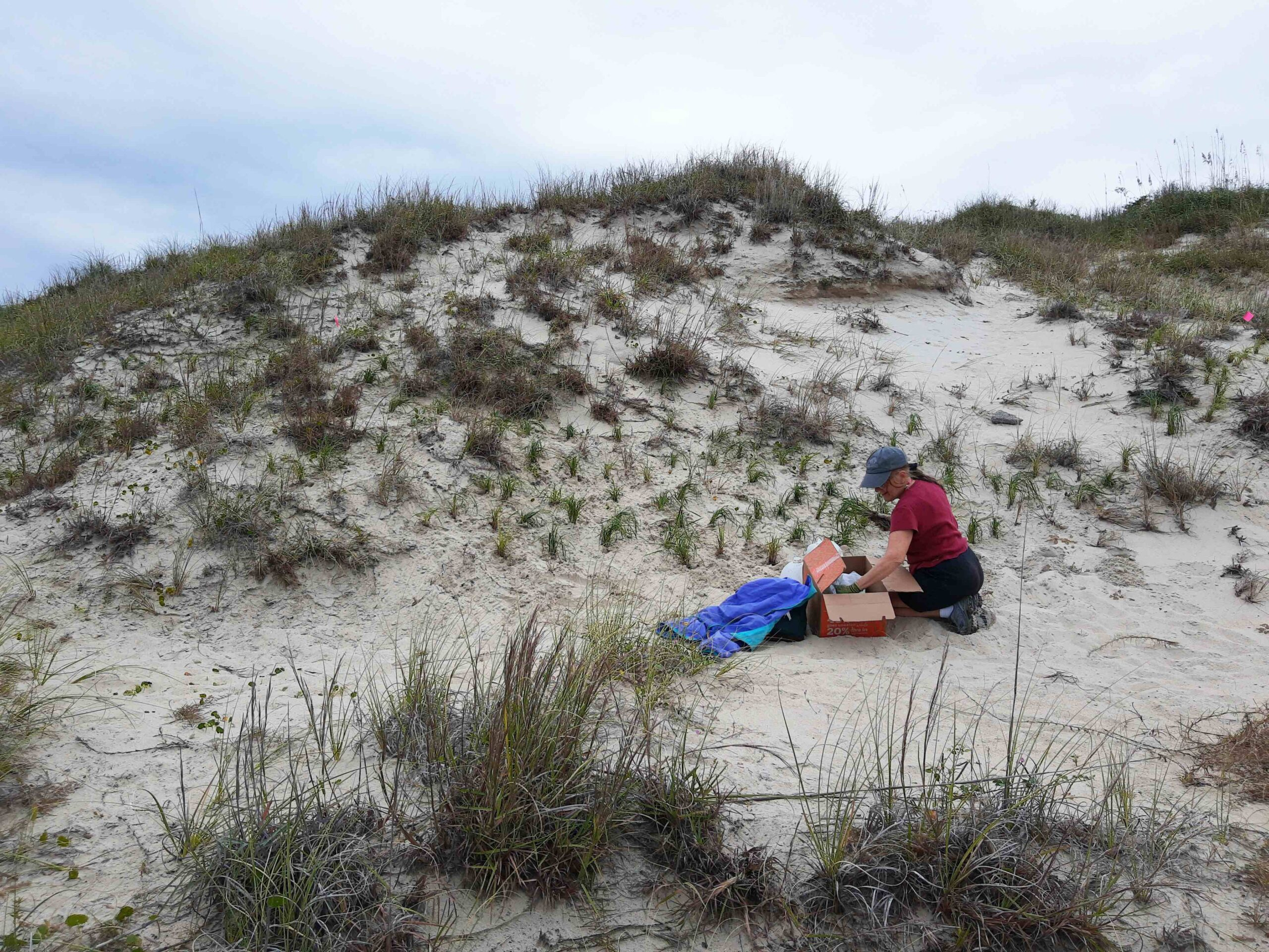 Volunteer Georgia Minnich, who recently retired from the N.C. Aquarium at Pine Knoll Shores, plants seaside little bluestem in the Williams dune.