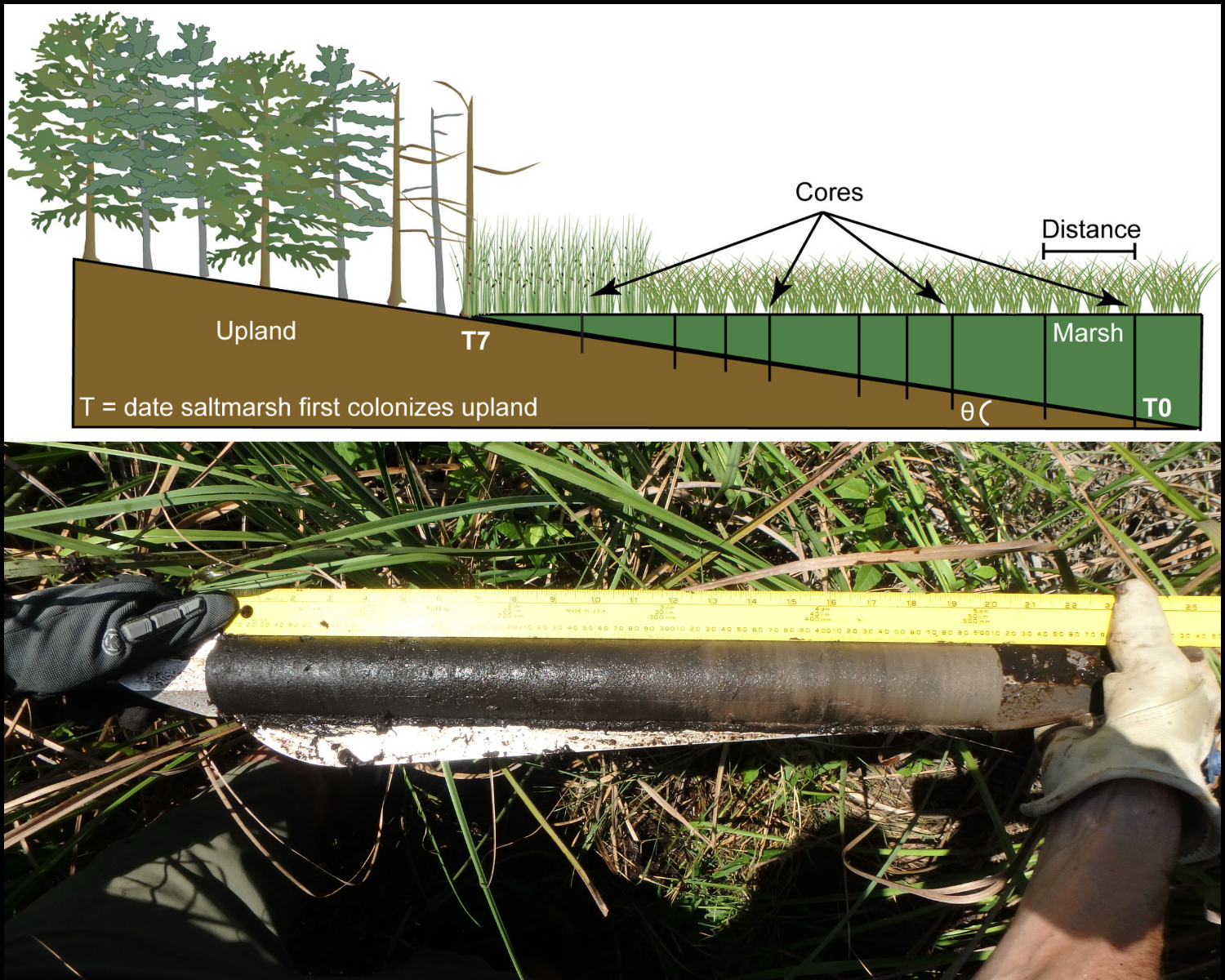 An illustration of salt marsh transgression and core sample placement, and a photo showing a core sample of upland forest peat.