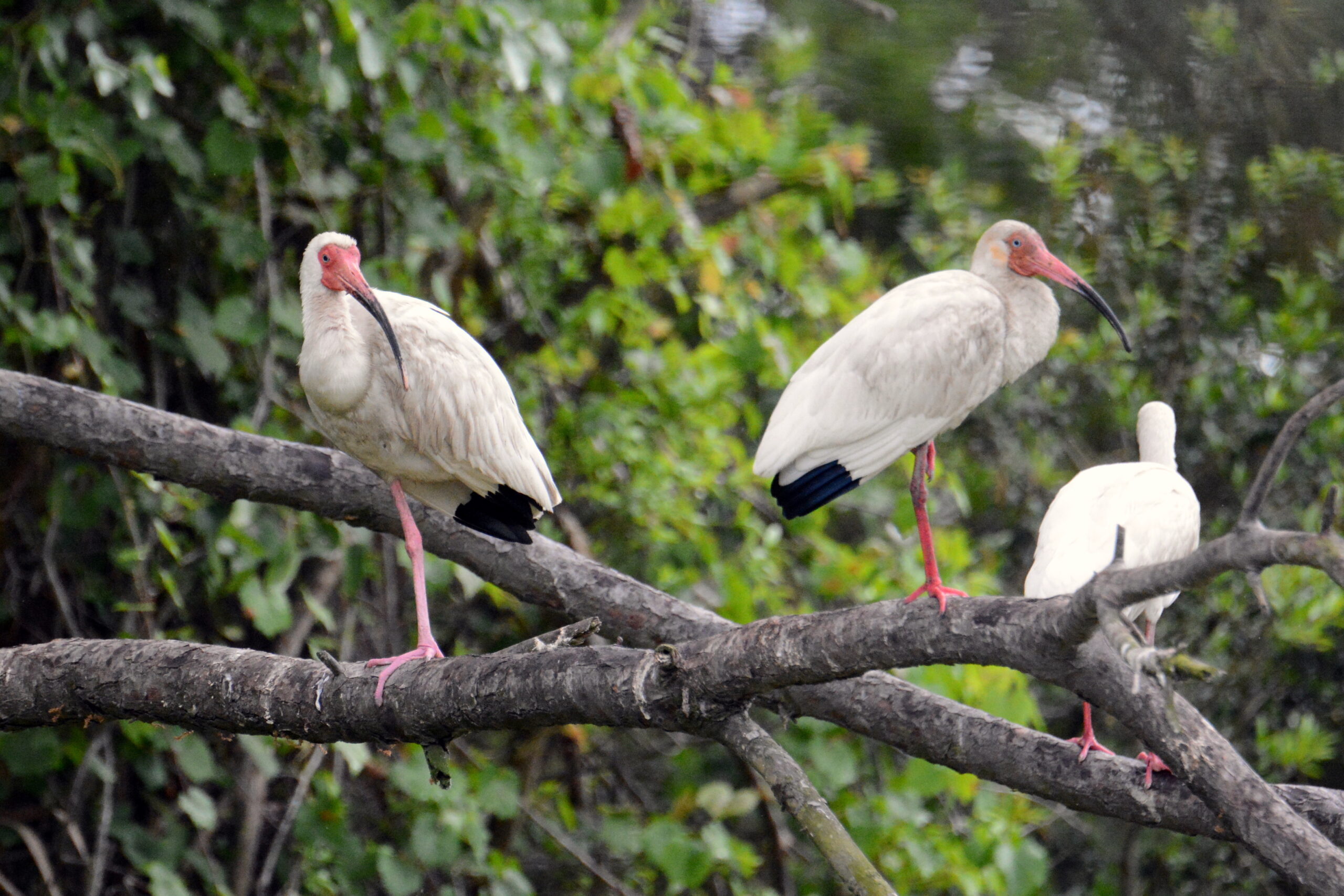 """image of ibises roosting. """"...the ibises kept on flying in, some just above the water, some suddenly lifting above it to five and even ten feet..."""" Courtesy of Tom Earnhardt."""
