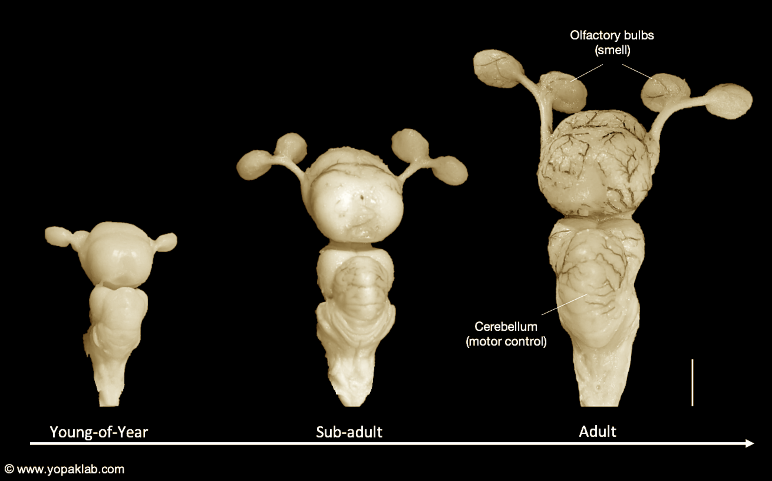 The brain of an Atlantic sharpnose shark, showing the regions that process smell (olfactory bulbs) and motor control (cerebellum) across life stages, including adulthood (far right). Scale: The vertical bar to the right of the adult brain equals 2 cm. Images adapted from Laforest et al. (2019). All rights reserved.