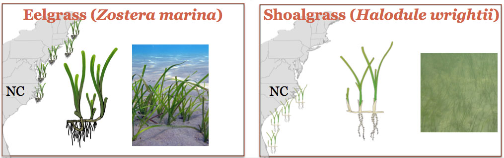 Illustration of eelgrass and shoalgrass with map showing distribution/range