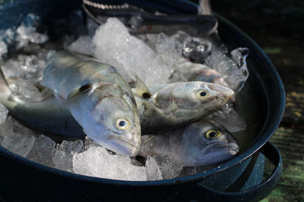 Fish on ice in a pot.
