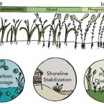 Illustration of invasive seagrass and services studied