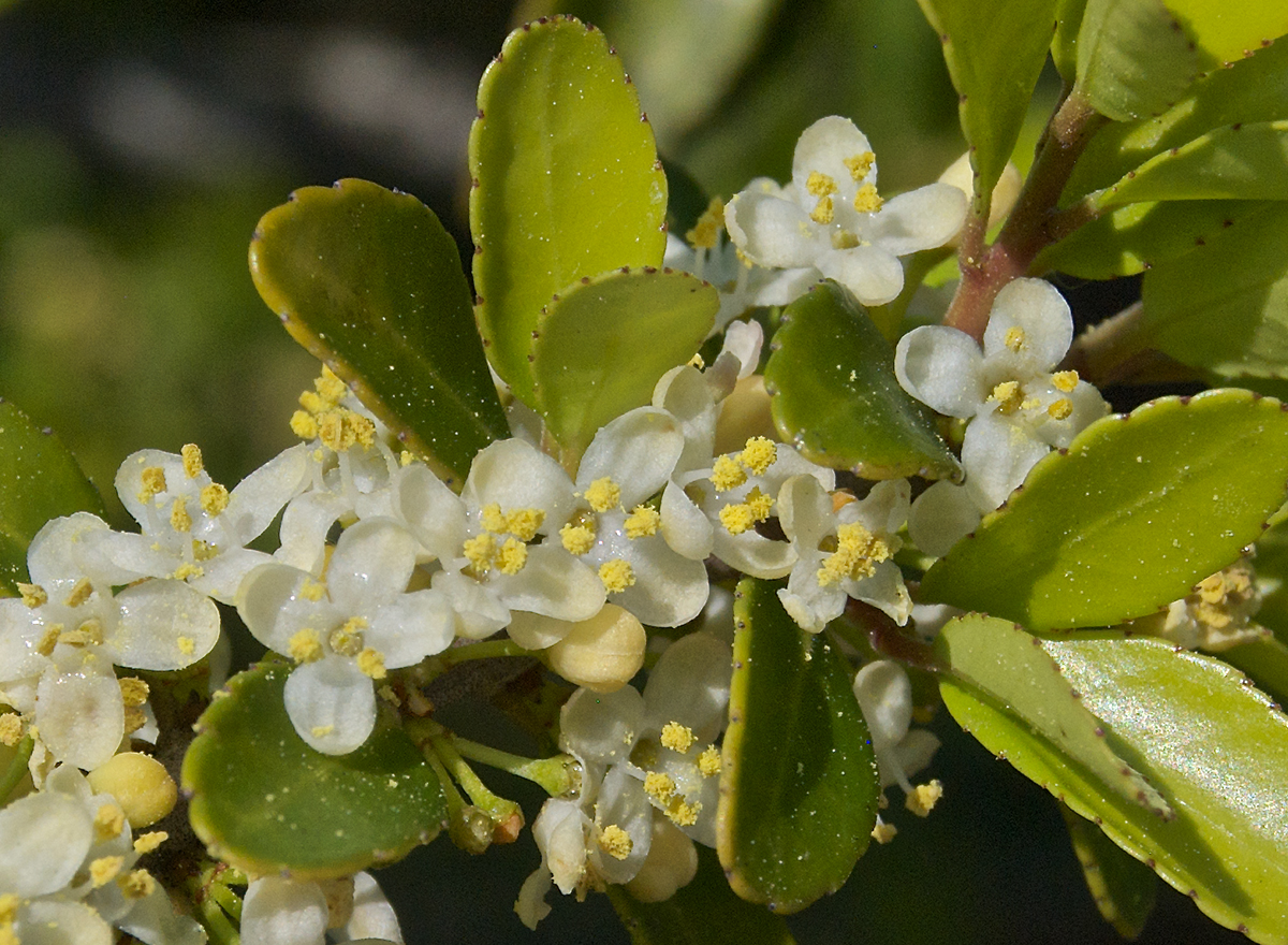 Male Yaupon (Ilex vomitoria) flowers.