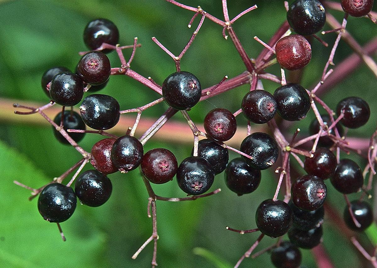 Common elderberry (Sambucus canaden) fruits.