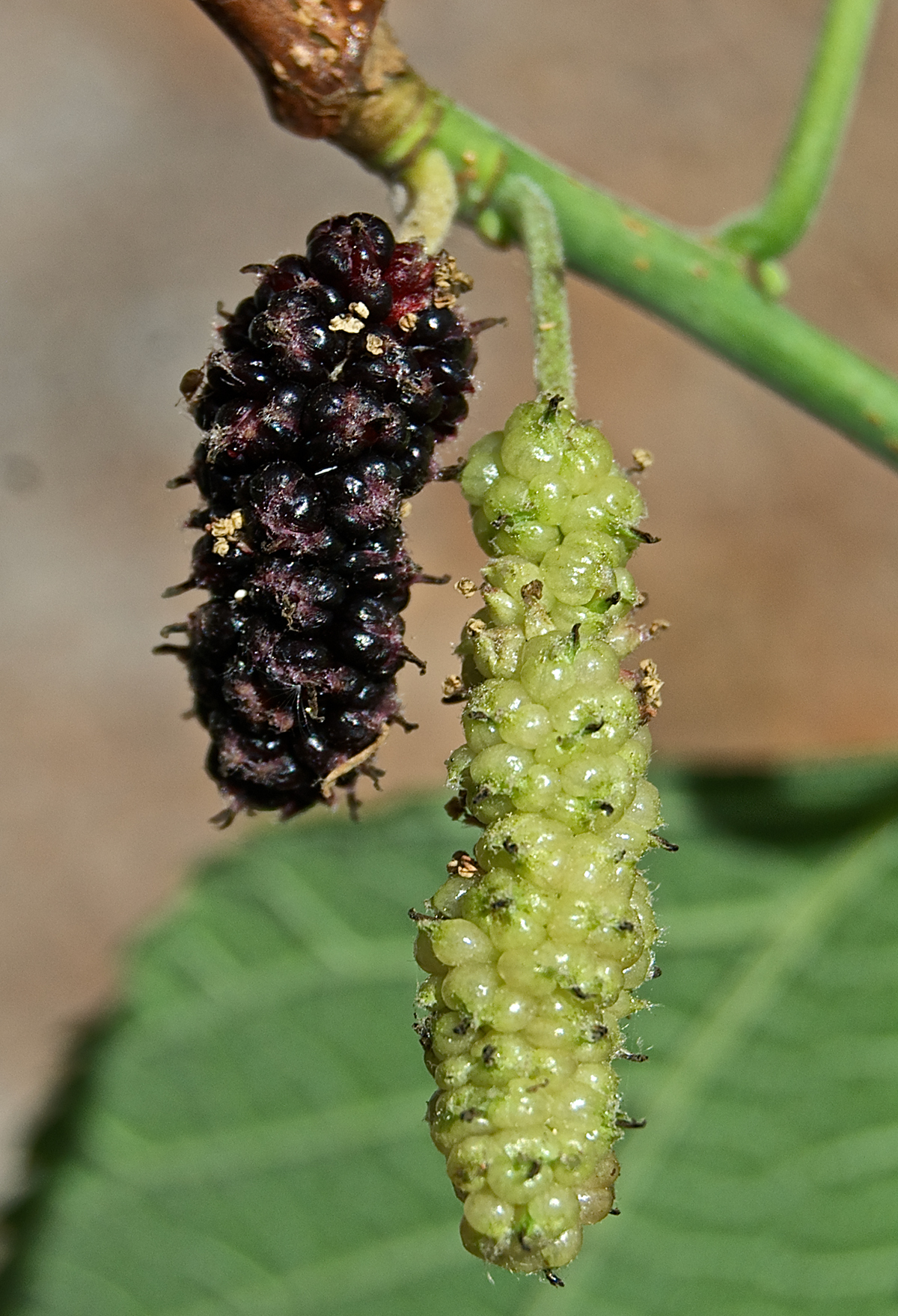 Red mulberry (Morus rubra) fruits.