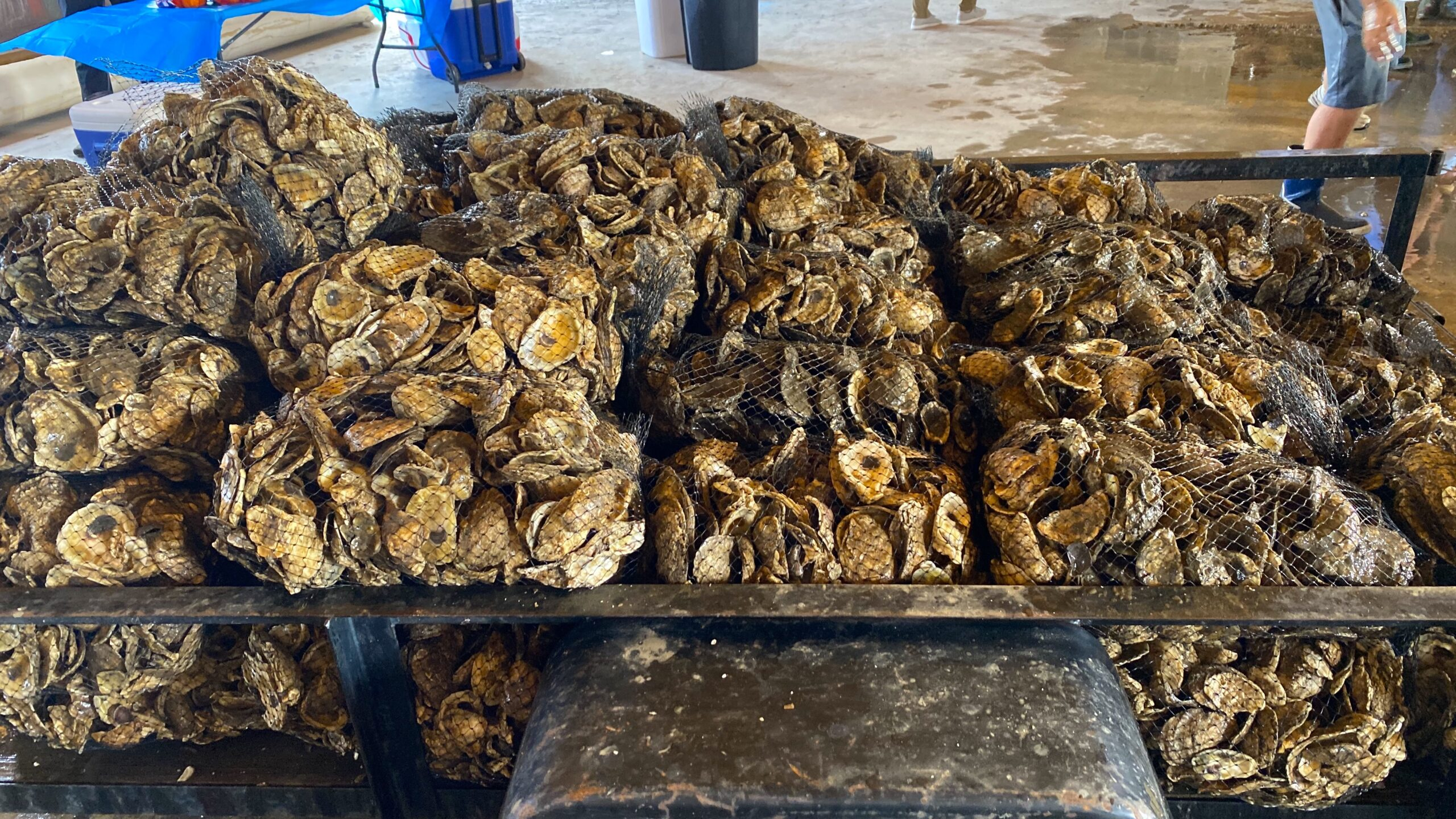 """North Carolina Sea Grant, the NC Farm Bureau, N.C. Division of Marine Fisheries and industry collaborators have joined forces to produce and deploy """"spat-on-shell"""" across three acres this year. The project launched on Jarrett Bay."""