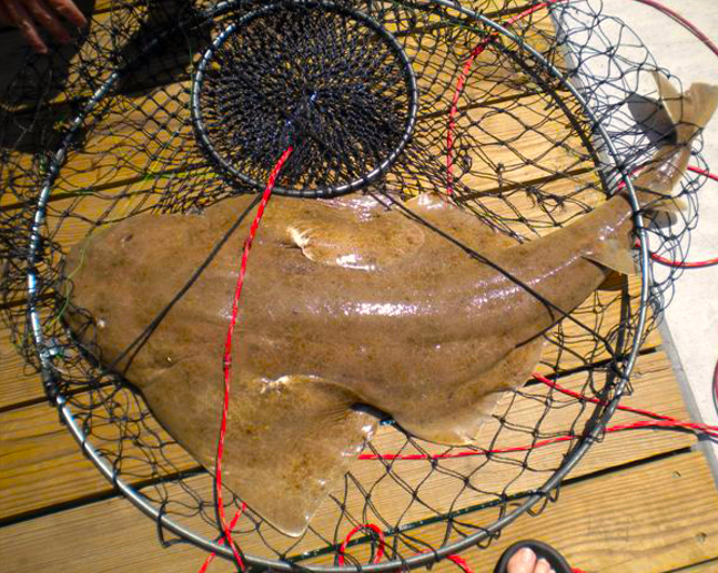 This Atlantic angel shark was caught on a bottom rig and then quickly released back into sea at Jennette's Pier in Nags Head. Photo courtesy of Jennette's Pier.