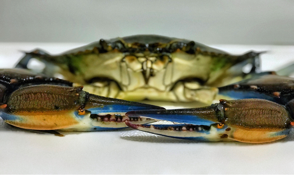 Male Adult Blue Crab Photo by Erin Voigt