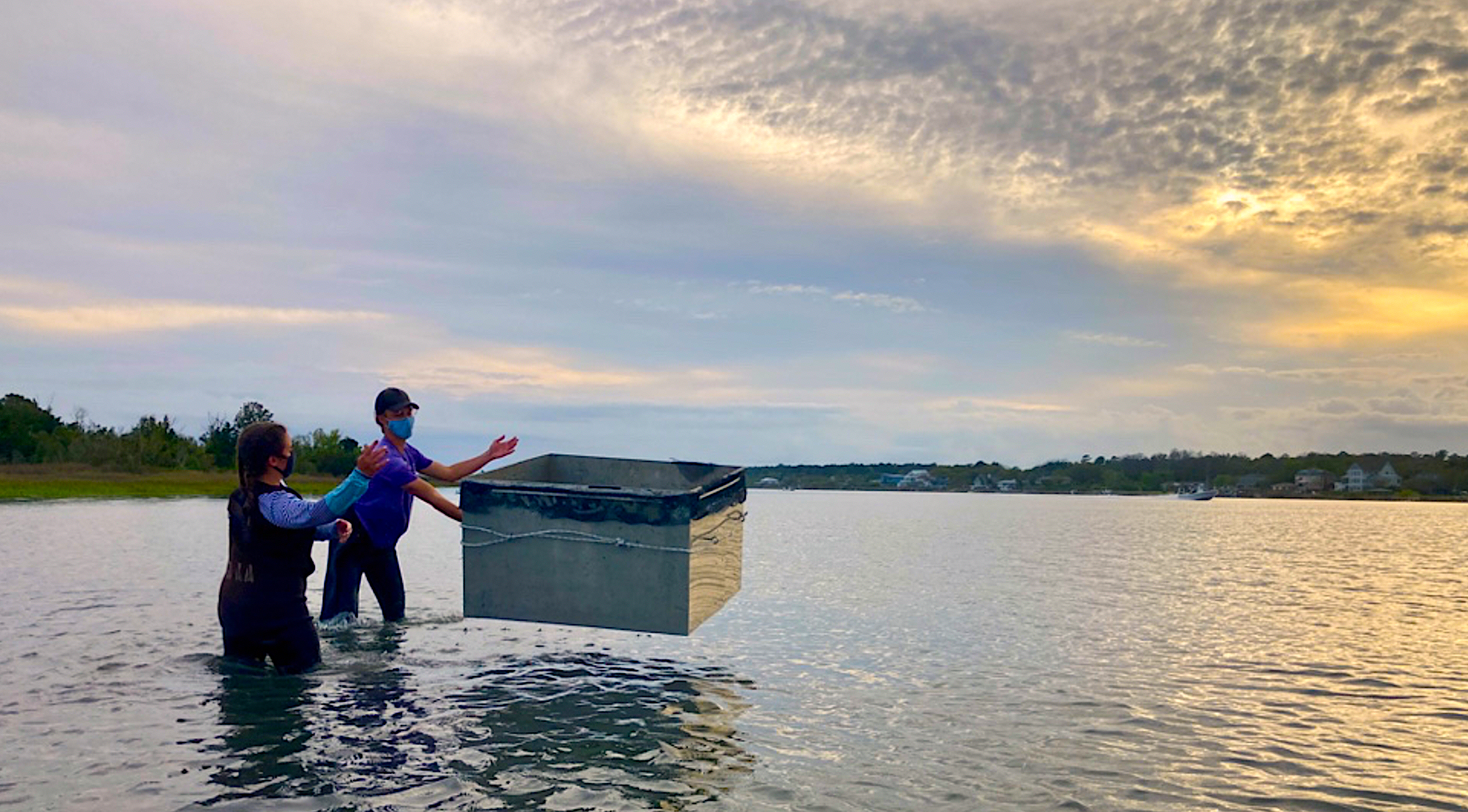 Deploying throw traps over seagrass patches to examine abundances of juvenile blue crabs.