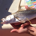 spotted seatrout with tags