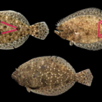 Top left: Three prominent ocellated spots form a triangle on the body of Gulf flounder. Top right: On summer flounder, five ocellated spots form a pattern like the five side of a die. Bottom: Southern flounder have non-ocellated spots. Courtesy of the N.C. Division of Marine Fisheries