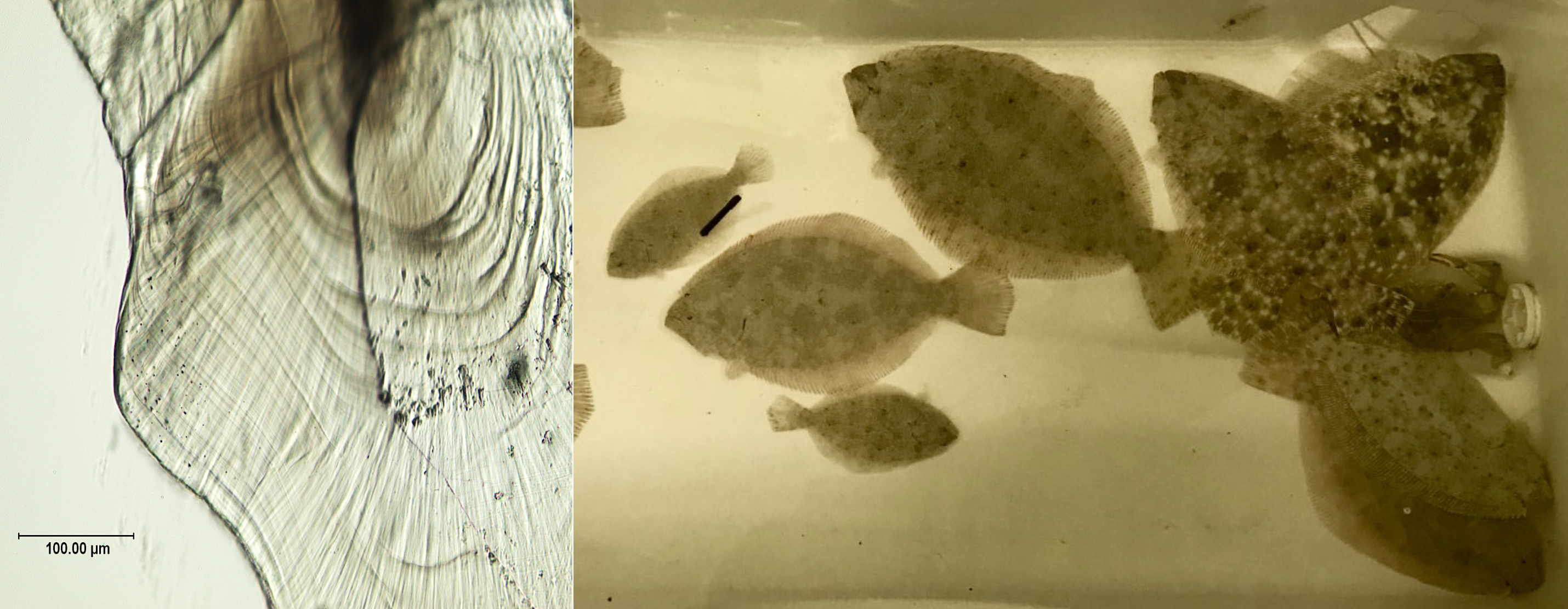 Post-experimental southern flounder exhibits a mainly diet-driven variation in size (right panel). Researchers examined the visible daily increments of growth in juvenile southern flounder otoliths (ear bones) to estimate recent growth history (left panel)