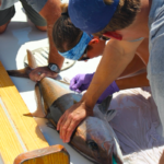 People measure an amberjack