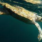 A loggerhread sea turtle swimming
