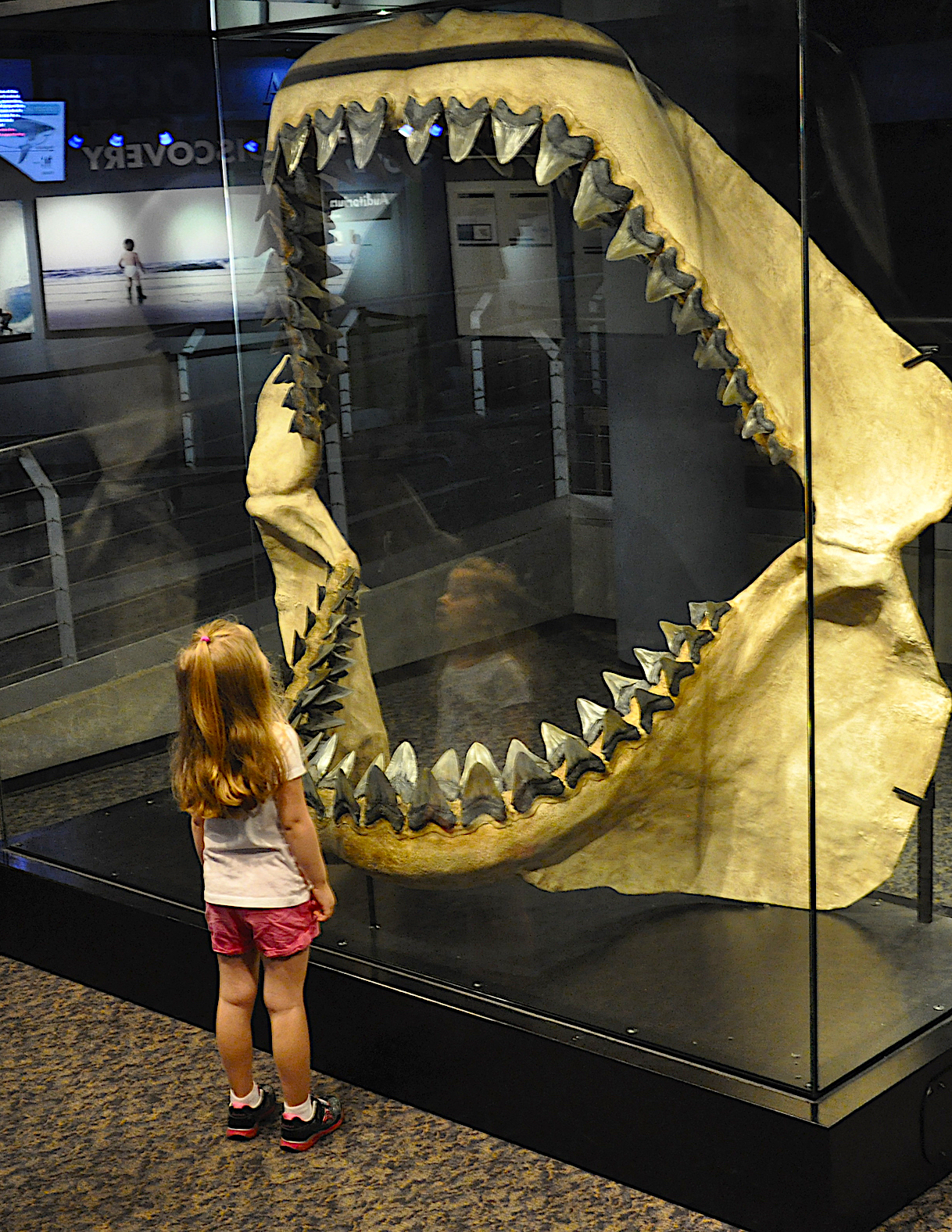 Megalodon jaws (replica), courtesy of N.C. Aquarium at Fort Fisher.