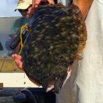 HLS southern flounder Image