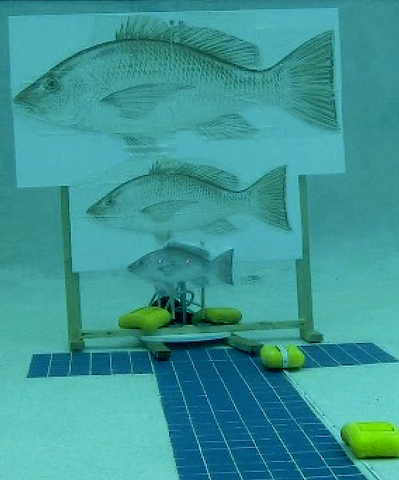 image: Pool testing and calibration involved paper fish models at various angles and distances from each ROV-mounted stereo camera system. Both laser points are visible on the smallest fish model.