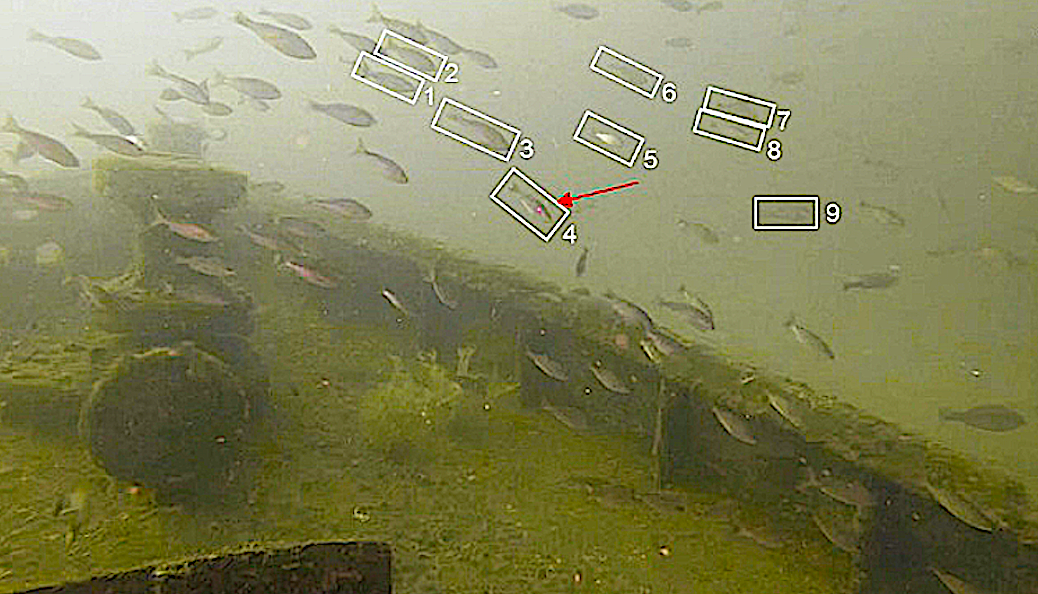 image: We could estimate length with the stereo camera system of the fish in the numbered white boxes. The red arrow indicates the single fish that the laser scaler struck at that same time — and only with a single laser point, which is insufficient for estimating length.