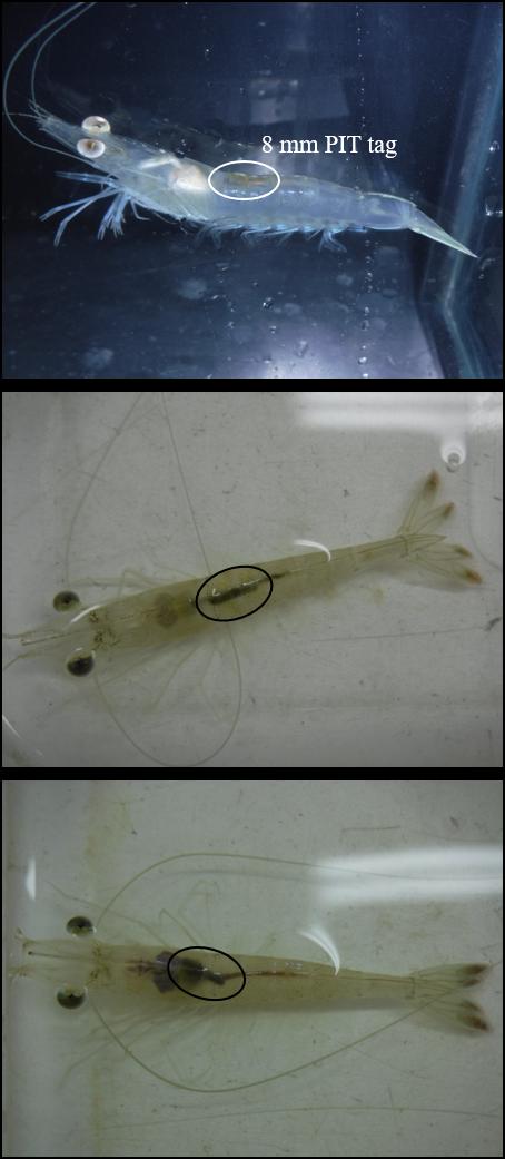Image: 8-millimeter PIT tags in shrimp.
