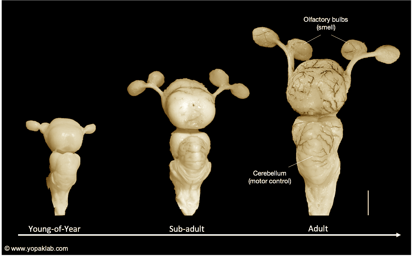The brain of an Atlantic sharpose shark, showing the regions that process smell (olfactory bulbs) and motor control (cerebellum) across life stages, including adulthood (far right). Scale: The vertical bar to the right of the adult brain equals 2cm. Images adapted from Laforest et al. (2019). All rights reserved.