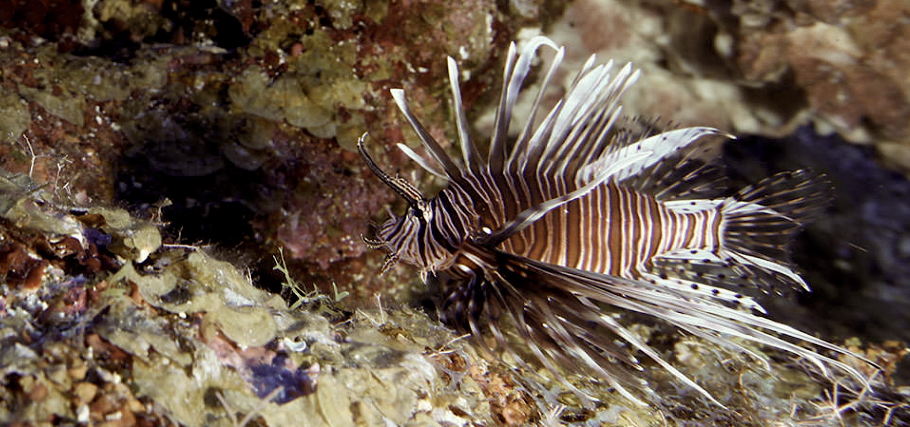 Lionfish, courtesy of NOAA.
