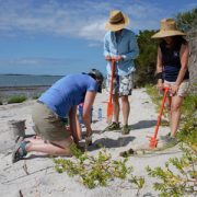 Three people planting spartina on the beach