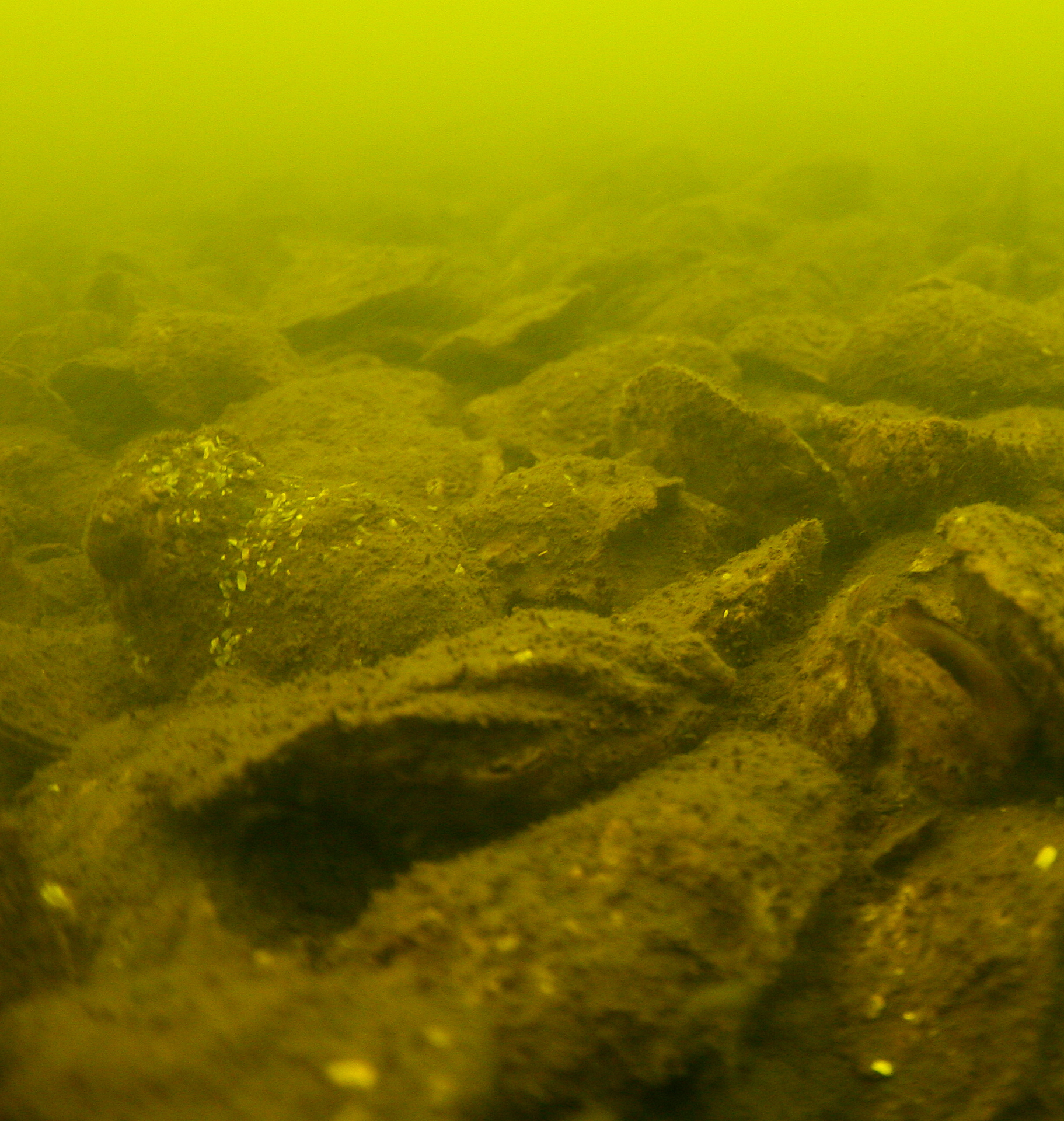 Oysters in closed waters near Cross Rocks in Newport River. Photo courtesy of Joel Fodrie
