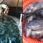 Left: Brooks Sherman, a UNCW graduate and former research assistant with the university's aquaculture program, harvests black sea bass from a recirculating aquaculture system. Right: Market stage black sea bass produced in a recirculating aquaculture system.
