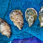 Oysters grown through aquaculture