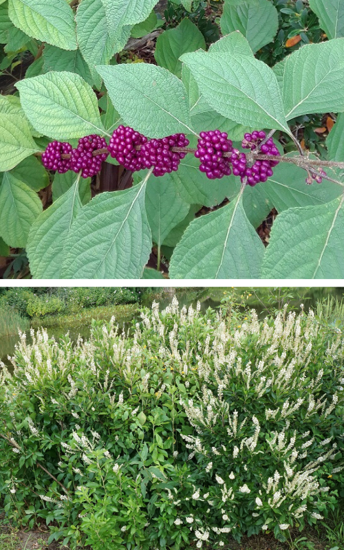 An image of American beautyberry's striking purple fruit, and an image of the shrub sweet pepperbush, with white flowers.