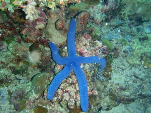 Electric blue seastar