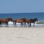 Wild horses take a summer stroll in Corolla, Outer Banks. Photo by Terri Kirby Hathaway