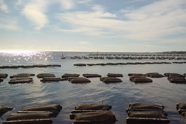 Oyster cages floating in rows