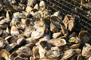 Oysters in cage