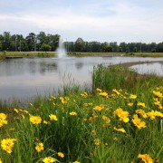 Coreopsis by a pond