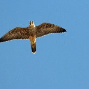 Peregrine falcon flying over Ocracoke