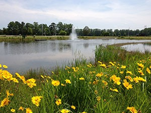 Yellow flowers at next to a pond in Currituck County.