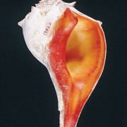 Photo of knobbed whelk.
