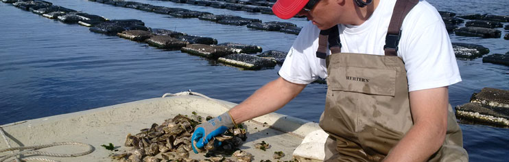 Man sorting oysters on a lease