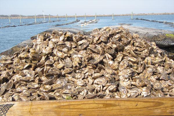 styron-oyster-harvest