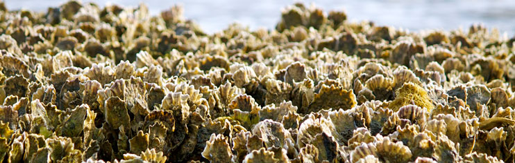 close up of oyster reef