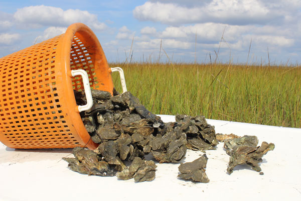 Back Sound oysters in orange basket. Photo by Vanda Lewis